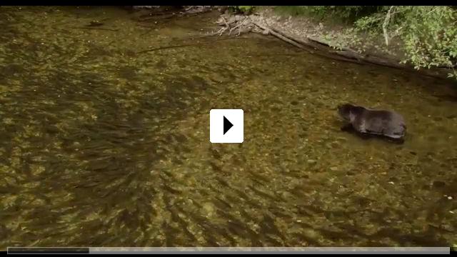 Zum Video: Bären