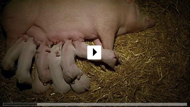 Zum Video: Ein Schweinchen namens Babe