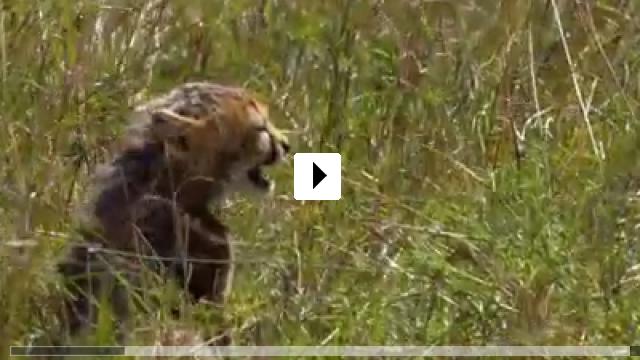 im reich der raubkatzen  african cats